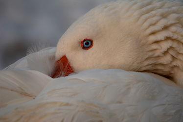 Bild mit Augen, Winter, Weiß, Vögel, Gänse, Sonne, Nahrung, Licht, nahaufnahme, Gefieder, Gans, Abendsonne, Kopf, Winterruhe, Haushalten, Energiebedarf