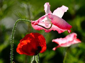 Bild mit Kunst,Grün,Blumen,Weiß,Rot,Mohn,Gegenlicht,Abendsonne,Naturkünstler,Kunstvoll