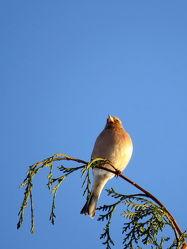 Bild mit Vögel, Sperlingsgroß, Buchfink, Fringilla_coelebs