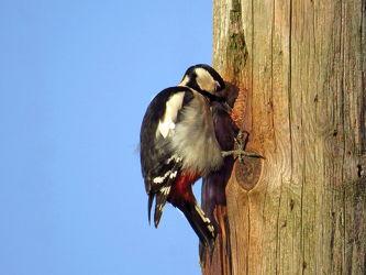 Bild mit Vögel, Buntspecht, Dendrocopus_major, Spechte
