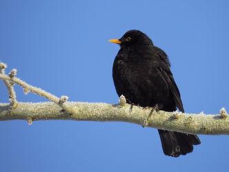 Bild mit Schwarz, Vögel, Amsel, Singvögel, Schwarzgrau, Turdus_merula
