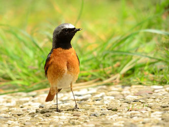 Bild mit Vögel, garten, Singvögel, Gartenrotschwanz, Drosseln, Phoenicurus_phoenicurus