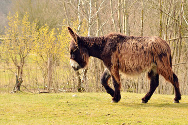 Bild mit Säugetiere, Esel, Poitou, Poitou_Esel, Eselslauf