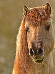 Bild mit Säugetiere, Pferde, Haustier, Tarpan, Rückzüchtung_europäisches_Wildpferd, Wildpferd