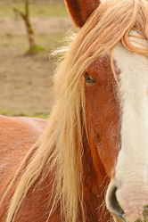 Bild mit Säugetiere, Augen, Pferde, Treue, Portrait, Freundschaft, Liebe, Mähne, Freude, Pferdekopf, Schleswiger_Kaltblut, Tierliebe