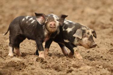 Bild mit Säugetiere, Ferkel, Schwein, Schweine, Hausschwein, niedlich, süß, schweinchen, glücksschweine
