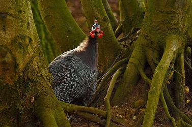 Bild mit Bäume, Vögel, Männchen, Abendlicht, Wurzeln, Sehnsucht, Perlhuhn, Perlhühner, Baumwurzeln, Warten, Erwartung