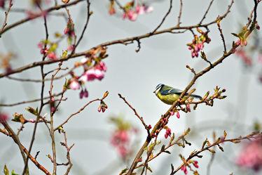 Bild mit Bäume, Parks, Frühling, Frühling, Vögel, Sonne, Licht, Blüten, garten, Sonnenstrahlen, Wärme, Abendsonne, Zierkirsche, Blaumeise, Parus_caeruleus