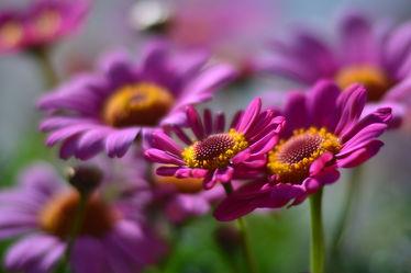 Bild mit Blumen, Blumen, Frühling, Astern, Sonne, Licht