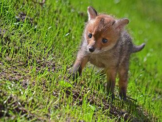 Bild mit Säugetiere, Gräser, Sonne, Gras, Gegenlicht, Licht, Welpe, Rasen, Welpen, Fuchs, Junges, Fuchskind, Fuchsjunges, Fuchswelpen, Hang