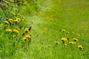 Bild mit Pflanzen, Gräser, Blumen, Blumen, Löwenzahn, Felder, Pusteblumen, Wiesen, Feldränder