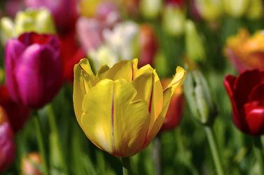 Bild mit Gelb,Grün,Blumen,Rot,Tulpen,Bunt,FARBE