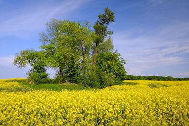 Bild mit Gelb,Grün,Landschaften,Himmel,Bäume,Wolken,Frühling,Blau,Raps,frühjahr,Baumgruppe,Rapsfeld