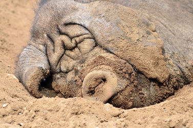 Bild mit Säugetiere, Säugetiere, Sonne, Sandstrand, Schweine, Wärme, Kopf, ohren, Sonnenbad, Stirn, Gewässerrand
