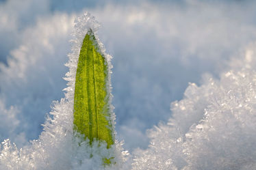 Bild mit Grün,Gräser,Winter,Schnee,Weiß,Makro,Gras,Winterzeit,nahaufnahme,Kälte,Eiskristalle