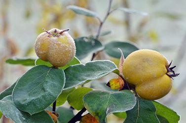 Bild mit Herbst, Obst, Vitamine, Küche, Saft, Marmelade, Gelee, Quitten, Apfelquitten, Europäische_Küche
