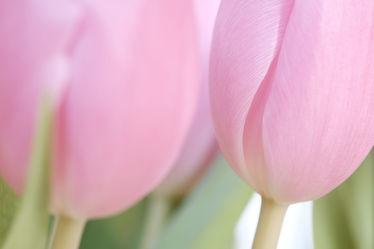Bild mit Farben,Blumen,Blumen,Frühling,Tulpen,frühjahr,Liebe,Dezent,Zartheit,Zärtlichkeit,Gemeinsamkeit