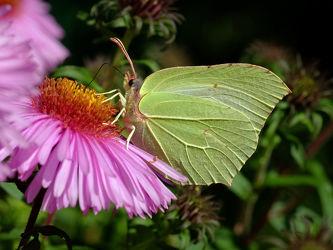 Bild mit Grün, Blumen, Blumen, Rosa, Rot, Insekten, Insekten, Sommer, garten, FARBE, Zitronenfalter, Gonepteryx_rhamni