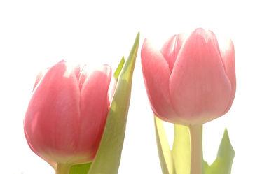 Bild mit Blumen,Frühling,Frühling,Tulpen