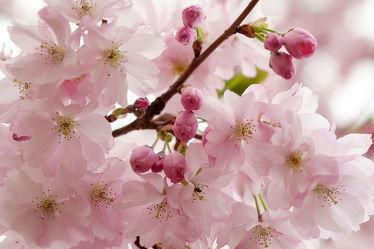Bild mit Weiß, Rosa, Frühling, Rot, Makro, Blüten, nahaufnahme, Japanische_Zierkirsche, Zierkirsche, Blütenköpfe