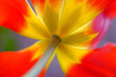 Bild mit Gelb,Frühling,Rot,Blätter,Tulpen,Extras