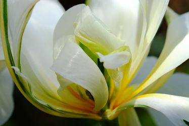 Bild mit Tulpe,Tulpen,Makros,Edeltulpe,Gefüllte,Naturkünstler