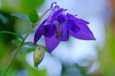 Bild mit Pflanzen,Blumen,Blumen,Blau,Makro,nahaufnahme,Akelei