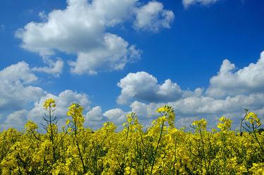 Bild mit Gelb,Grün,Pflanzen,Landschaften,Himmel,Wolken,Weiß,Blau,Raps,Ausspannen,Wind,Luft