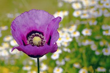 Bild mit Blumen,Lila,Blau,Mohn,Makro,blüte,nahaufnahme,Kamille