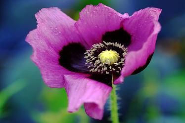 Bild mit Gelb,Pflanzen,Blumen,Blumen,Lila,Blau,Mohn,Makro,blüte,nahaufnahme,Kern