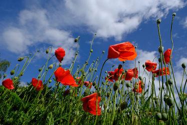 Bild mit Himmel, Wolken, Weiß, Frühling, Rot, Blau, Mohn, nahaufnahme, Wind