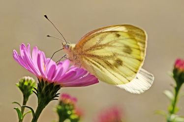 Bild mit Insekten, Schmetterlinge, Makro, Gegenlicht, Tiere & Insekten, Schmetterling, nahaufnahme, Herbstaster, Rapsweißling, Pieres_napi