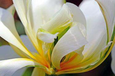 Bild mit Blumen,Frühling,Makro,Tulpen,nahaufnahme,frühjahr,Gefüllte