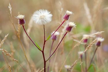 Bild mit Gräser, Herbst, Herbst, Braun, Makro, weiss, Felder, nahaufnahme, Wiesen