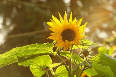 Bild mit Blumen, Sonne, Blume, Gegenlicht, Sonnenblume