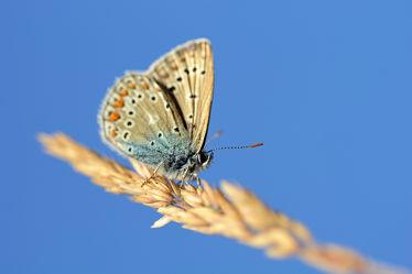 Bild mit Gräser,Himmel,Insekten,Blau,Braun,Schmetterlinge,Schmetterlinge,Makro,nahaufnahme,Tagfalter,Halme,Geißkleebläuling,Bläulinge,Plebeius_argus