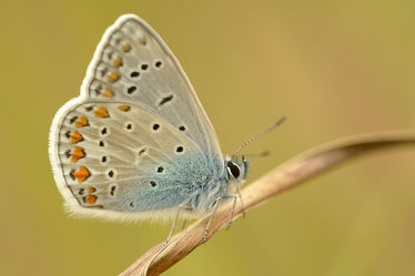 Bild mit Insekten, Schmetterlinge, Schmetterlinge, Tagfalter, Polyommatus_icarus, Gemeiner_Bläuling