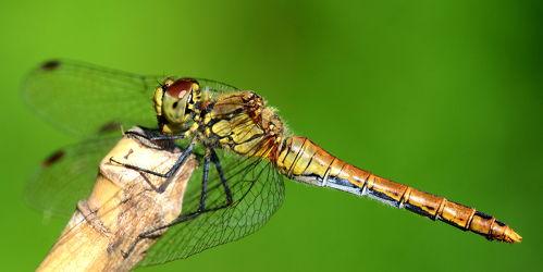 Bild mit Insekten, Libellen, Weibchen, Gewöhnliche Heidelibelle, Sympetrum vulgatum