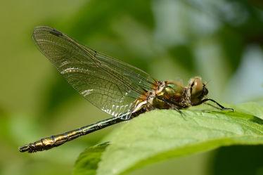 Bild mit Grün,Blätter,Makro,Libellen,Odonata,Libelle,Gemeine Smaragdlibelle,Cordulia aenea,Falkenlibellen,Corduliidae