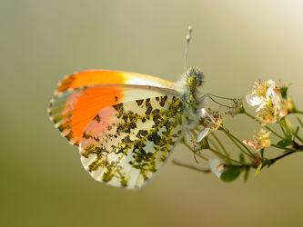 Bild mit Grün, Frühling, Insekten, Schmetterlinge, Schmetterling, frühjahr, Abendlicht, Tagfalter, Falter, Aurorafalter, Seitenlicht, Anthocaris_cardamines