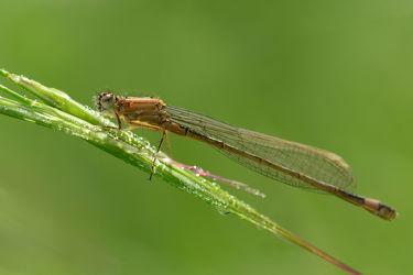 Bild mit Tiere, Insekten, Tierwelt, Weibchen, Platycnemis pennipes, GemeineFederlibelle, Männchen Hellblau, Morgentau, Tau