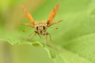 Bild mit Insekten, Rotbraun, Braun, Schmetterlinge, Schmetterlinge, Tagfalter, Rostfarbener_Dickkopffalter, Ochlodes_venatus