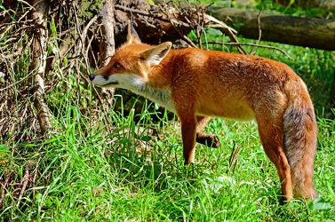 Bild mit Säugetiere, Raubtiere, Säugetier, Tierwelt, Fuchs, Wittern, Beutejagd, Rotfuchs