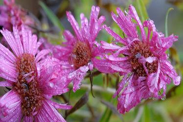 Bild mit Pflanzen,Blumen,Blumen,Lila,Herbst,Astern,Makro,Tropfen,Regen,Herbstastern