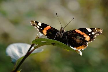 Bild mit Herbst, Insekten, Schmetterlinge, Makro, Gegenlicht, Sonnenlicht, Admiral