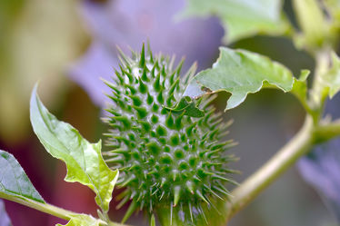 Grüner Stechapfel