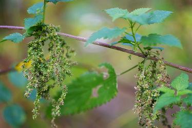 Bild mit Früchte, garten, GESUNDHEIT, Samen, Samen, Brennessel, Heilmittel, Tee, Hausmittel, Stärkung, Insektenabwehr