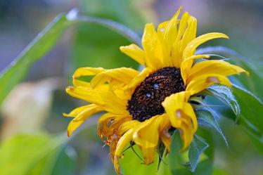 Bild mit Blumen, Herbst, Sonnenblumen, Blume, Sonnenblume, Spätherbst, Verblüht