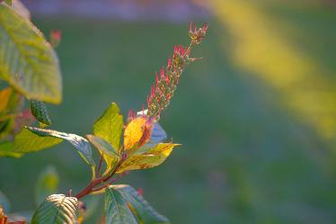 Bild mit Gelb,Grün,Parks,Rot,Herbst,Blätter,Gegenlicht,Strauch,garten,Sonnenlicht,Samen,Busch,Fruchtstand,Zimterle