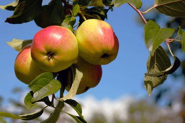 Bild mit Herbst, Obst, Gemüse, Apfel, Extras, GENUSS, Geniessen, Saft, Marmelade, Gelee, Frühstück